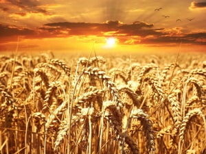Weizen in vielen Lebensmitteln